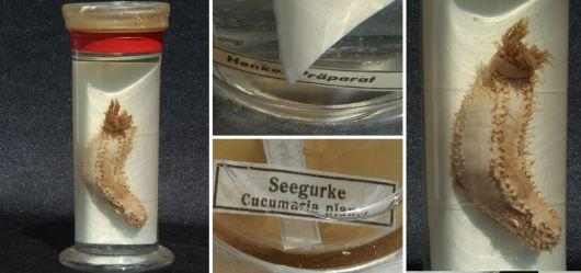 Altes Henkel-Präparat einer Seegurke