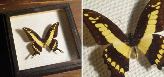 Papilio Lycophron