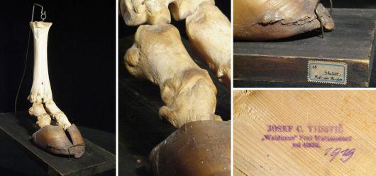 Skelett Fuß eines Rindes