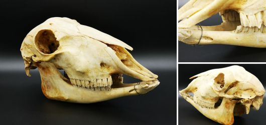 Skull of the female mouflon