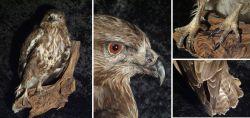 Tierpräparat Greifvogel Bussard