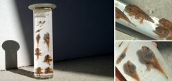 Altes Frosch-Nasspräparat von Henkel