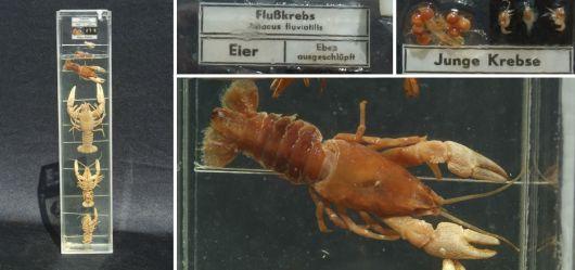 Lebenszyklus vom Flusskrebs - Feuchtpräparat