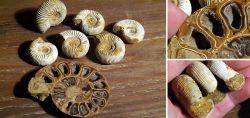 Ammonit-Konvolut