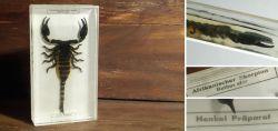 Altes Präparat - Afrikanischer Skorpion