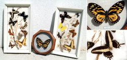 Showcases with tropic Butterflies